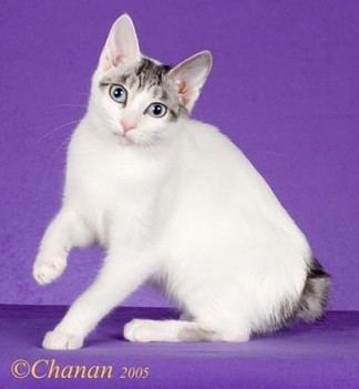 ebae569a17 Silver Tabby and White Female Image copyright 2005 Chanan Photography